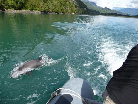 Ancud, Chile: Dolphins swimming right next to us