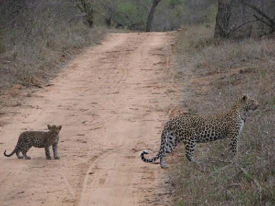 Kapama River Lodge: Leopard with one of her cubs