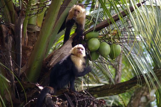 Osa Peninsula, Costa Rica: Capuchin (white-faced) monkey at Lapa Rios