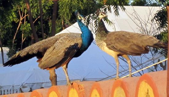 Mirvana Nature Resort and Camp: peacocks