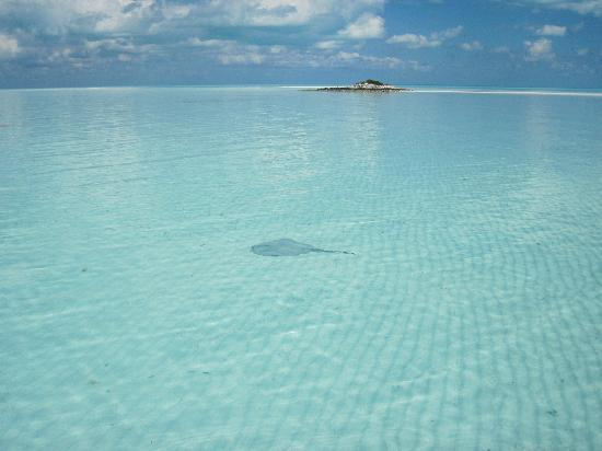 Great Exuma: stingray in the shallow waters