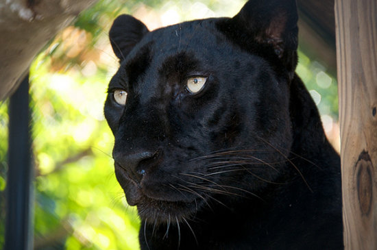 Wellington, FL: Amos the Black Leopard
