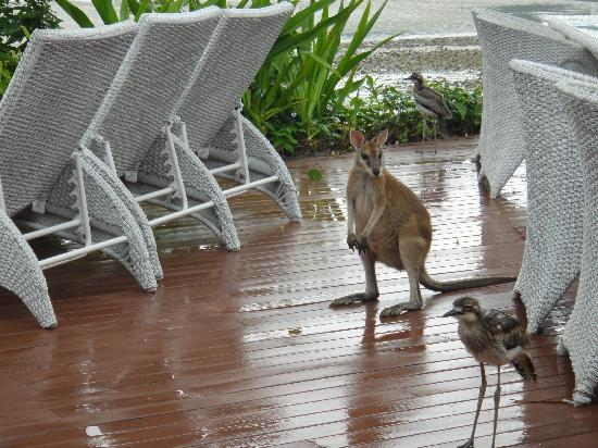 Paradise Bay Island Resort: Wallabie