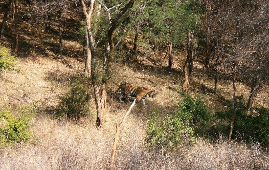 Alwar, India: A sighting of the lone male tiger of the reserve