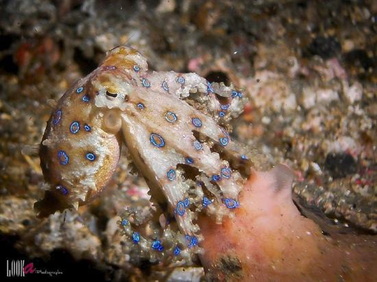 Bitung, Indonesia: Blue Ring Octopussy