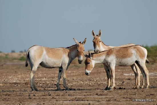 Dasada India  city images : ... or Nilgai Picture of Rann Riders Safari Resort, Dasada TripAdvisor