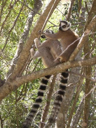 Madagascar: Isalo - Lemuri