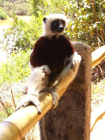 Madagascar: Lemure Sifaka - Lemurs Park