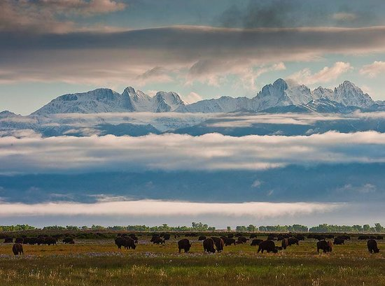 Mosca, CO: Bison grazing in the ranch meadows
