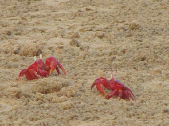 Balasore, India: The crabs look like flowers spread on the beach