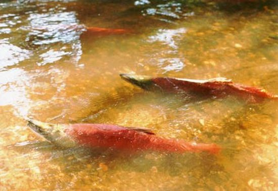 Cottage Creek Inn: Annual Spawning - Sockeye