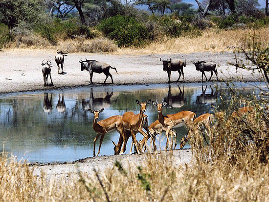Tarangire River Camp: Impala at a water hole in front of lodge