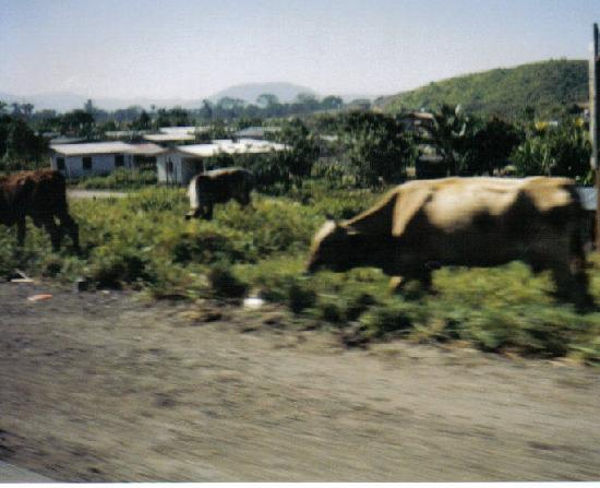 Honduras: Cattle in the Honduran Countryside