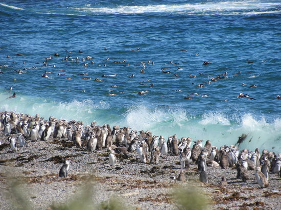 Puerto Madryn, Argentina: Magellenic Penguins at Punta Tombo