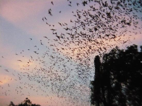 Cha-am, Thailand: Bats coming out of the cave