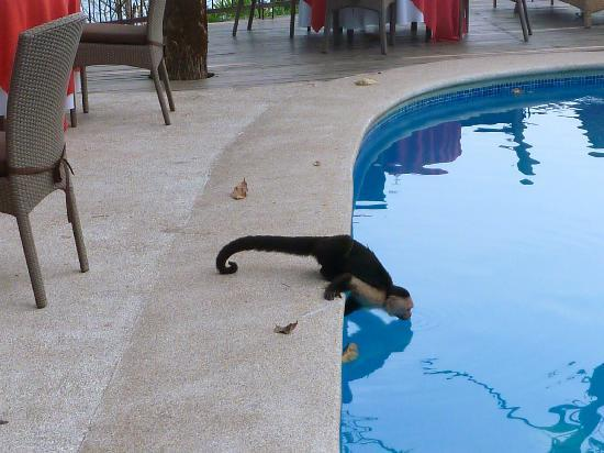 Arenas del Mar Beachfront and Rainforest Resort, Manuel Antonio, Costa Rica: thirsty monkey