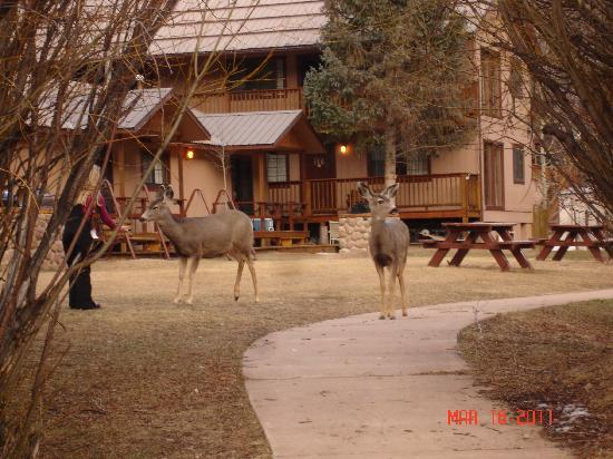 Deer in front of river front units at Copper King Lodge