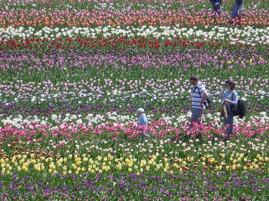 Holland boasts millions of tulips each year in May.  Photo by Sara Simmons.