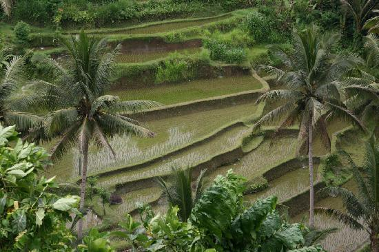 Alam Indah: Sayan Rice Terraces