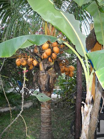 Don Diego de la Selva: Coconut tree by my room.  I was offered to harvest a coconut, I declined.  They looked too prett