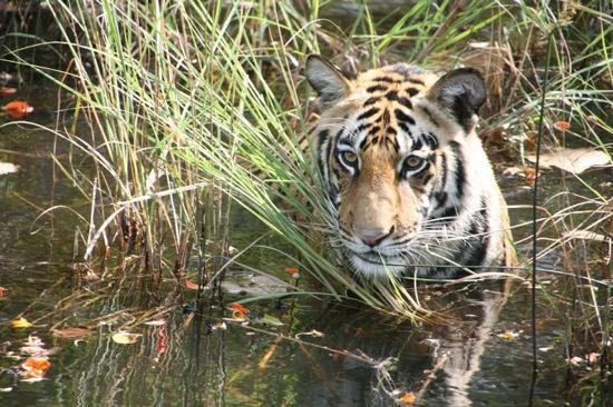 Kanha Jungle Lodge: Male Tiger Cub approx 18 mths swimming