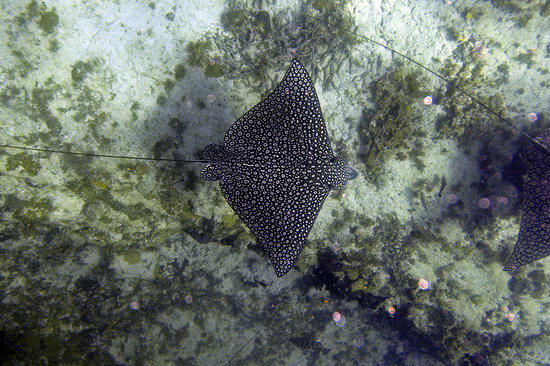 Gregory Town, Eleuthera: Eagle Ray