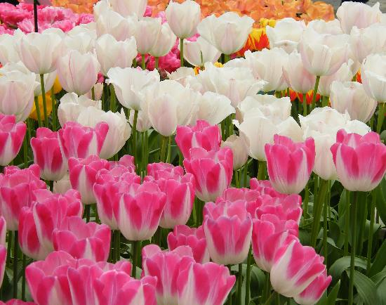 Tulips Picture Of Amsterdam North Holland Province