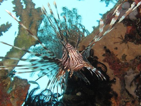 Pulau Mataking Reef Dive Resort: Lion Fish on House reef