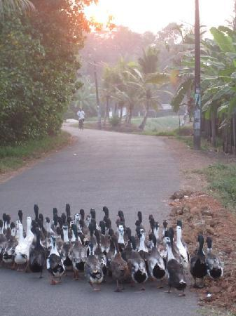 Ayana's Homestay: DUCK'S