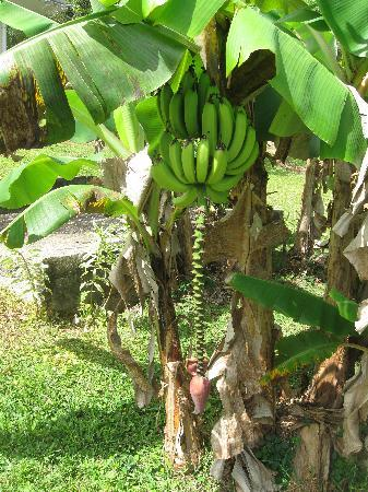 Villa Sevilla Guest House: Bananas in the Backyard
