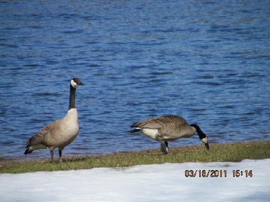 Cedar Lodge & Settlement: The Geese have returned