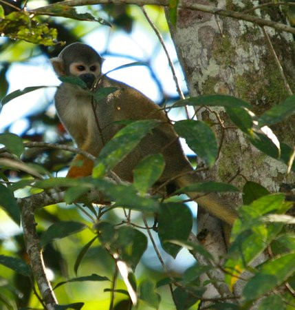 Muyuna Amazon Lodge: squirrel monkey in a tree