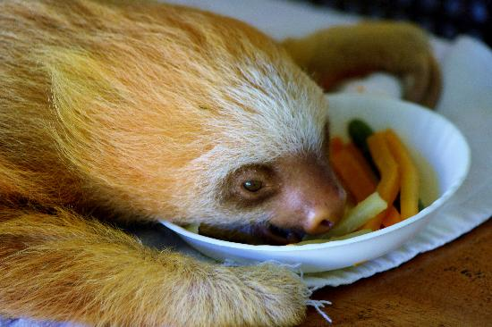 Cahuita, Kosta Rika: Sloth baby eating lunch