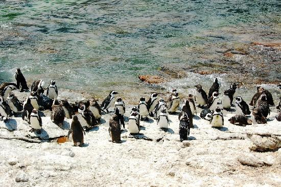 Gordon's Bay, Sør-Afrika: Penguins at Betty's Bay