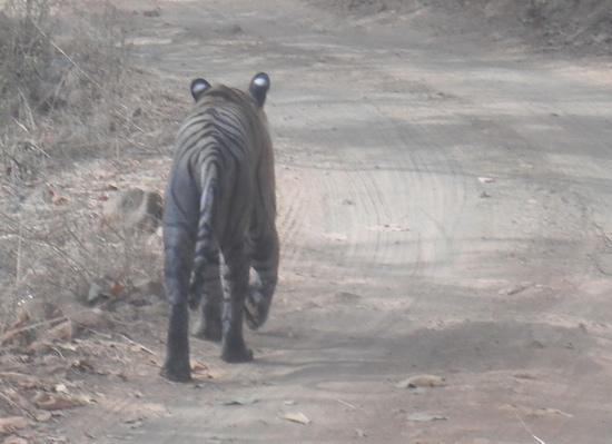 The Pugmark: a Ranthambore tiger