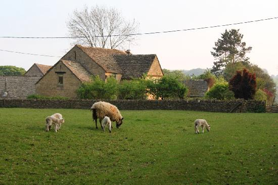 Yew Tree Cottage Bed and Breakfast: Spring lambies frollick in the paddock behind the cottage