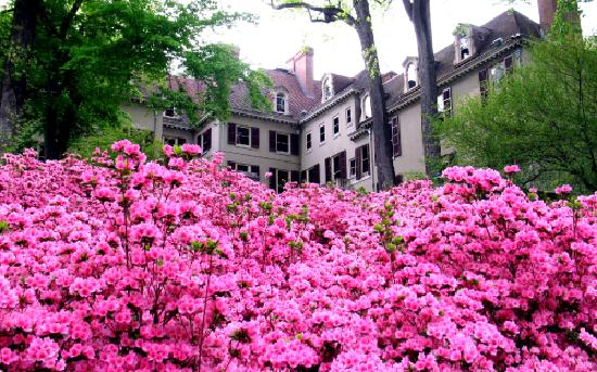 Wilmington, DE: Azaleas at Winterthur Museum, Library and Country Estate