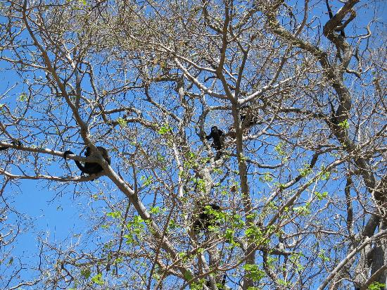 Hacienda Iguana: Local Howler Monkeys at Iguana
