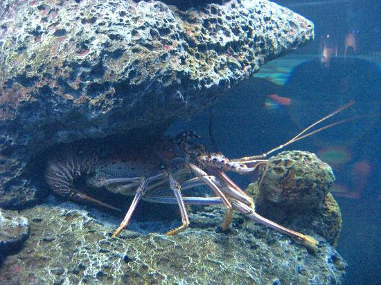 Large Lobsters Picture Of North Carolina Aquarium At Fort Fisher Kure Beach Tripadvisor