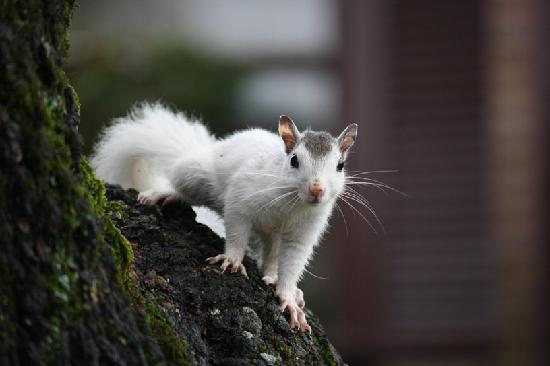 White squirrel in Brevard NC - about 26 miles from Asheville