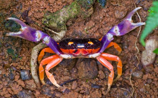 ‪‪Bosque del Cabo Rainforest Lodge‬: Halloween Crab‬