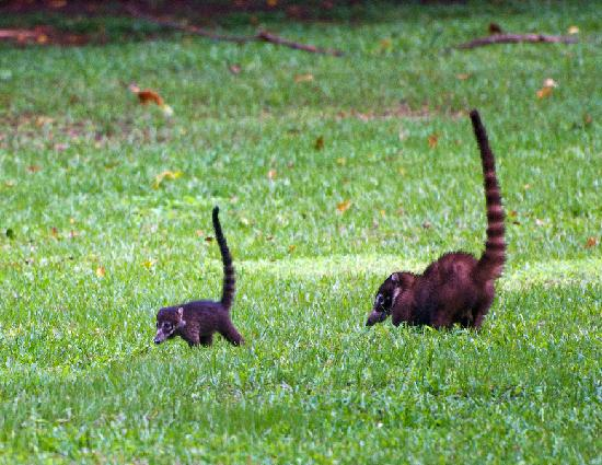 Bosque del Cabo Rainforest Lodge: Coati Family