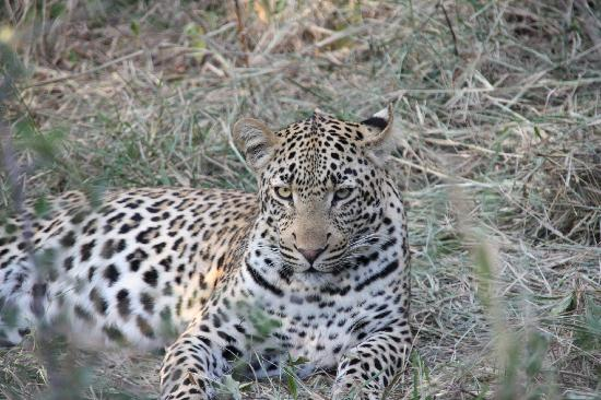 Monwana Game Lodge: Young Leopard