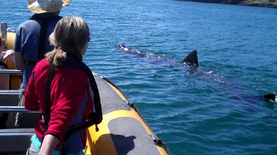basking shark commentary But the publicity around the great white shark of jaws fame far  island has  plenty of sharks — blue, mako, thresher and basking sharks are.