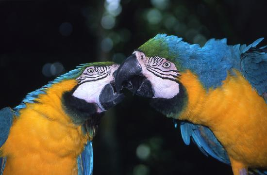 Galveston Island, TX: Macaws