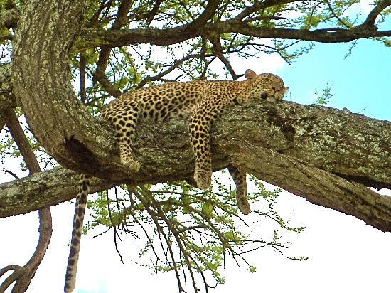 Manyara Ranch Conservancy: A Leopard having a snooze in a tree