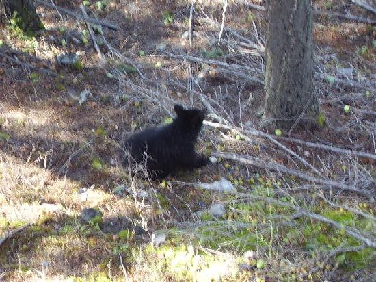 Apple Tree Inn: black bear in back of motel awesome wildlife