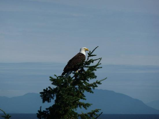 MGM Seashore Bed & Breakfast: Bald eagle in the backyard of the B&B