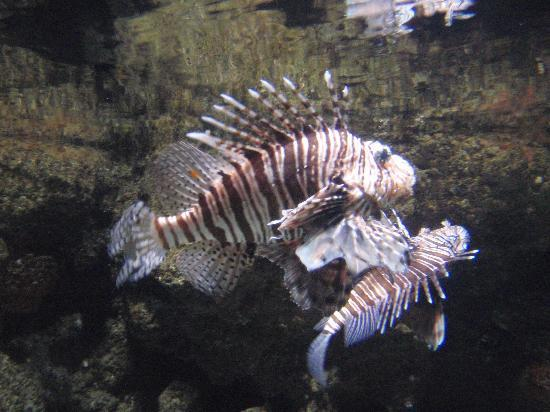 dangerous-lion-fish