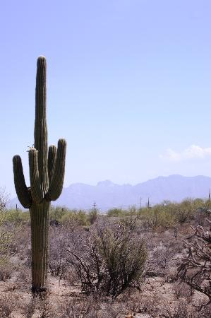 Adobe Rose Inn: giant saguaro in nearby park